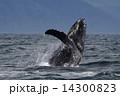 ザトウクジラ 14300823