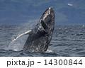 ザトウクジラ 14300844