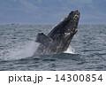 ザトウクジラ 14300854