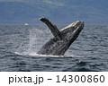 ザトウクジラ 14300860