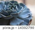 サキュレンツ エケべリア サボテンの写真 14302790