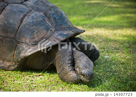 Aldabran seychelles giant tortoise 14307723