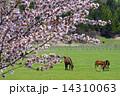 サラブレッド銀座の桜 14310063