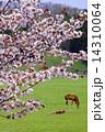 サラブレッド銀座の桜 14310064