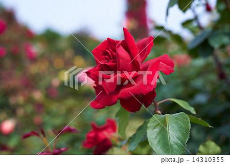 赤いバラ  乾杯 14310355