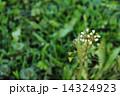 なずな ぺんぺん草 春の七草の写真 14324923