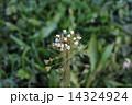 なずな ぺんぺん草 春の七草の写真 14324924