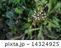 なずな ぺんぺん草 春の七草の写真 14324925