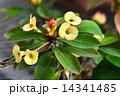 キスミークイック 花 サボテンの写真 14341485