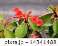 キスミークイック 花 サボテンの写真 14341488