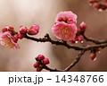 梅の花 寒梅 梅の写真 14348766