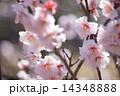 梅の花 寒梅 梅の写真 14348888