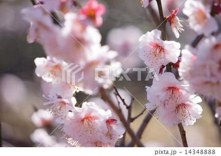 梅の花 14348888
