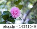 八重 オトメツバキ 乙女椿の写真 14351049