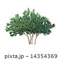 ブリーベリーのスケッチ精密植栽画 14354369