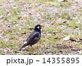 ムクドリ 鳥 小鳥の写真 14355895