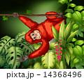 Orangutan 14368496