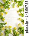 菜の花(菜の花の一種) 白木材背景 14369788