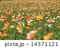 ヒナゲシ アイスランドポピー 花畑の写真 14371121