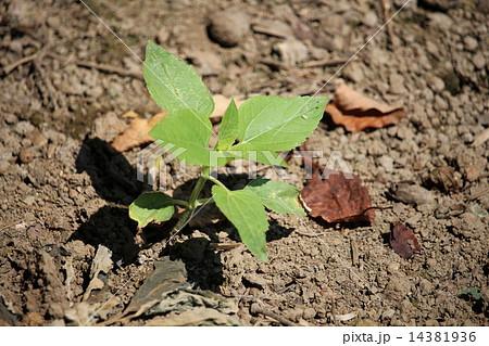 ヒマワリの成長過程 14381936