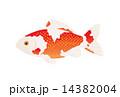 金魚 14382004