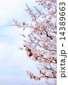 梅の枝 梅の木 梅の写真 14389663