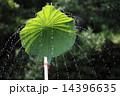 水飛沫 ハスの葉シャワー 水の写真 14396635