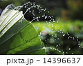 水飛沫 ハスの葉シャワー 水の写真 14396637