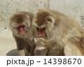 モンキー ニホンザル 猿の写真 14398670