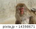 モンキー ニホンザル 猿の写真 14398671