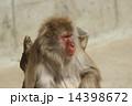 モンキー ニホンザル 猿の写真 14398672