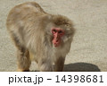 モンキー ニホンザル 猿の写真 14398681