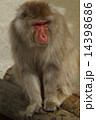 モンキー ニホンザル 猿の写真 14398686