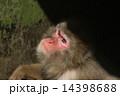モンキー ニホンザル 猿の写真 14398688