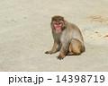 モンキー ニホンザル 猿の写真 14398719