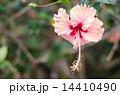 植物 花 ハイビスカスの写真 14410490