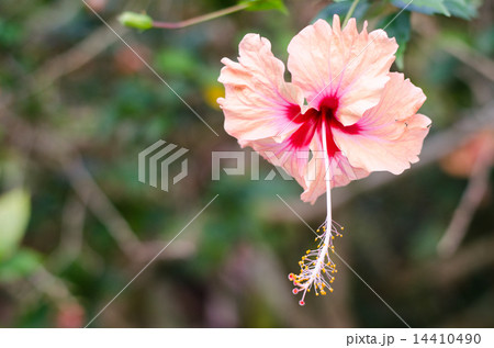 Pink hibiscus 14410490