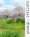 染井吉野 桜 ソメイヨシノの写真 14411452
