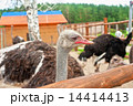 動物 動物園 だちょうの写真 14414413