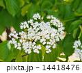 ガマズミの花 14418476