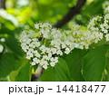 ガマズミの花 14418477