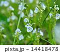 コテングクワガタの花 14418478