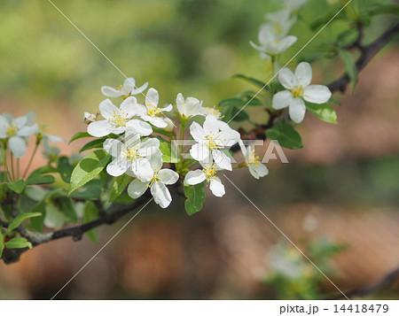 コナシの花 14418479