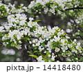 コナシの花 14418480