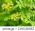 サンショウの花 14418482