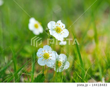 シロバナノヘビイチゴの花 14418483