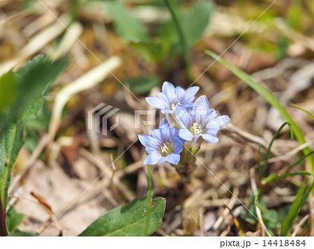 ハルリンドウの花 14418484