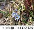 ハルリンドウの花 14418485
