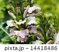姫葉薊 アカンツス・モンタヌス 花の写真 14418486