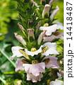 ヒメハアザミの花 14418487
